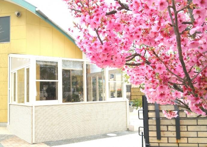 ココマと陽光桜