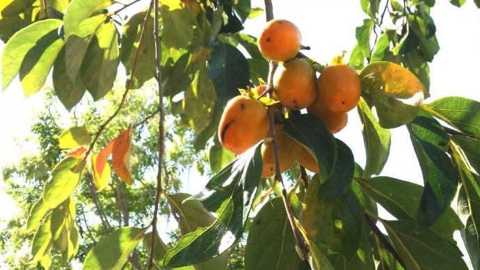 ちいさい柿