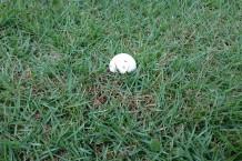 芝生と白いキノコ