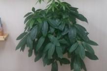 観葉植物①・パキラ