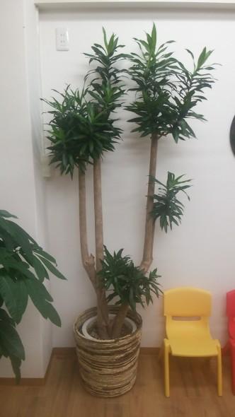 観葉植物②ドラセナ